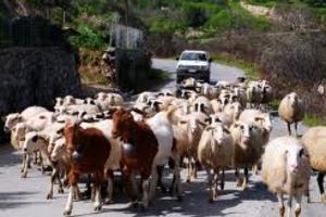 Νέες προοπτικές στην ελληνική γιδοτροφία